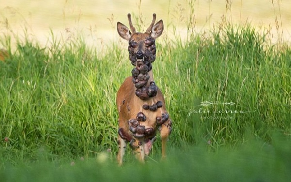 PHOTOS: Deer gets captured on camera with HPV tumors