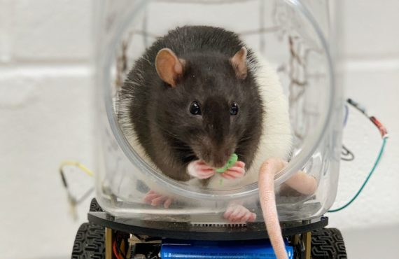 rats to drive cars in inquiry into stress levels, mental disorders