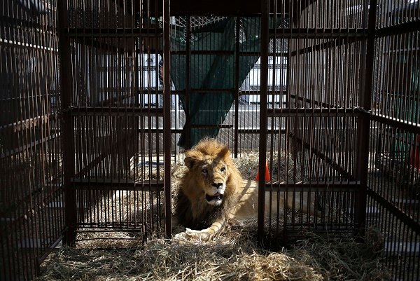 JUST IN: Escaped lion captured after devouring many goats