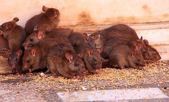 Four Cases Of Lassa Fever Confirmed In Kano