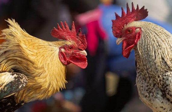 EXTRA: Rooster kills owner on their way to a cockfight