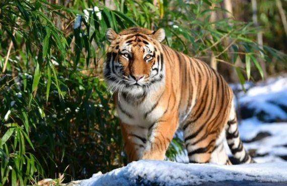 Tiger tests positive for COVID-19 at US zoo — first…