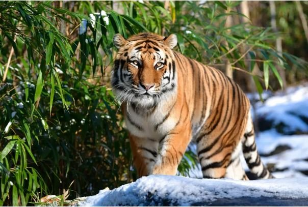 Tiger at US zoo tests positive for COVID-19 -- world's first known case
