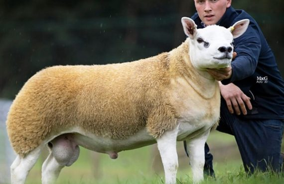 'World's most expensive sheep' sells for $490k at auction
