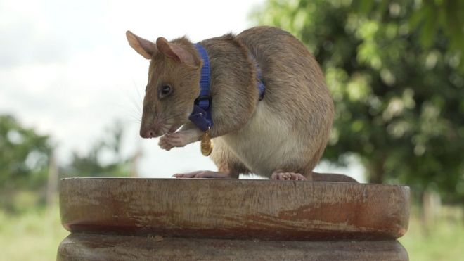 EXTRA: Rat wins bravery medal for sniffing out land mines