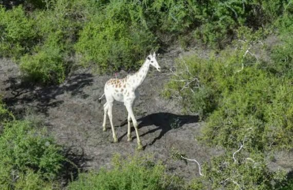 'World's only white giraffe' gets GPS tracker
