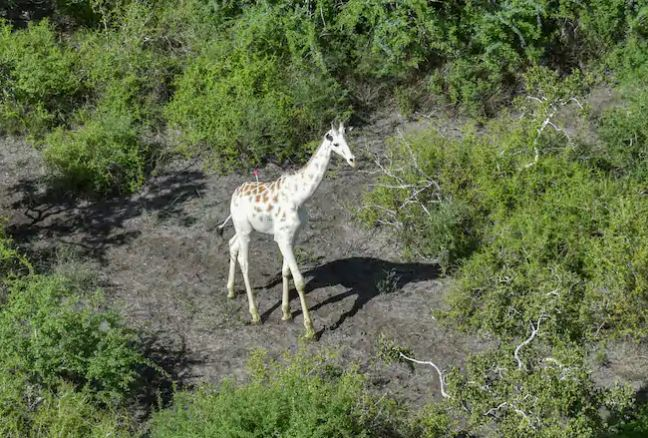 Global Positioning System  tag placed on world's last known white giraffe