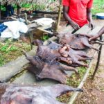 New survey shows widespread consumption of 'bush meat' among Nigerians