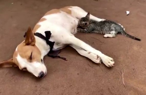EXTRA: Kitten suckles nursing dog in viral video